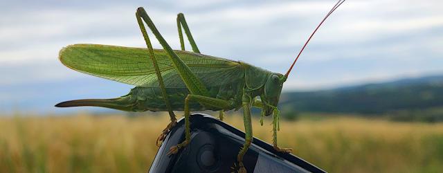 Ein Grünes Heupferd, der größten in Mitteleuropa vorkommenden Heuschrecken, sitzt auf einem Smartphone. Foto: SW