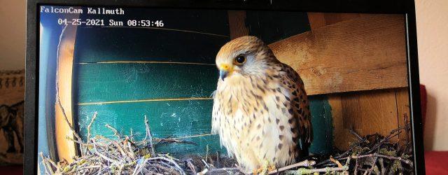 Tierbeobachtung per Laptop und Webcam: Ein Turmfalken-Weibchen schaut in die Kamera der Kallmuther FalconCam. Foto: SR