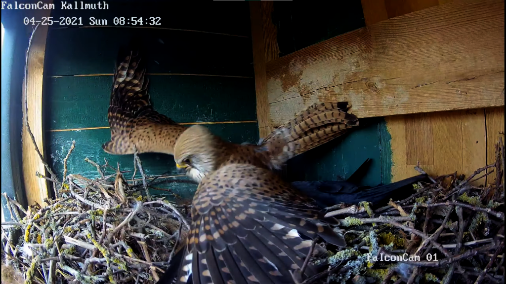 Screenshot von der FalconCam Kallmuth: Dohlen und Turmfalken-Weibchen kämpfen um den Brutkasten. Screenshot: SR